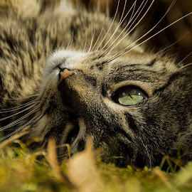 Curious tom by Abhiroop Gill - Animals - Cats Portraits ( #cat #sun #playing #canada #eyes #curious,  )