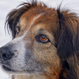 Sage Head Portrait - 5327 by Twin Wranglers Baker - Animals - Dogs Portraits (  )