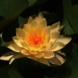 Yellow Water Lily by Rhonda Kay - Flowers Single Flower