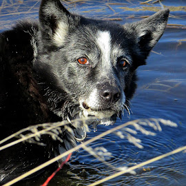 Cooling Off  by Linda Doerr - Animals - Dogs Portraits ( water, old, border collie, drinking, dog )