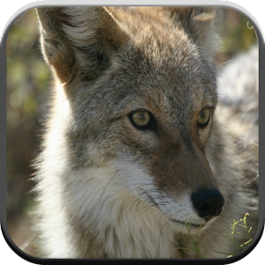 coyote sounds for kids android free app store. Black Bedroom Furniture Sets. Home Design Ideas