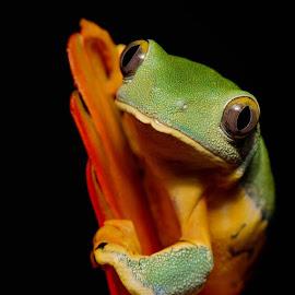 Splendid Leaf Frog close-up by Jen St. Louis - Animals Amphibians ( studio, frog, captive, tree frog, amphibian, portrait, splendid leaf frog,  )
