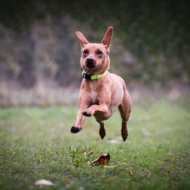 Gemma by Michael  Thomas Ireland - Animals - Dogs Running ( gemma, michaelthomasireland, dog, running, portrait )