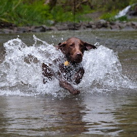 Daphne Running in Water 4 by David Leer - Animals - Dogs Running ( water, oregon, daphne, lincoln, 2015, coast range, drift, lab, close up, spring, portrait, chocolate, mountains, county, female, pet, outdoor, creek, dog, animal )