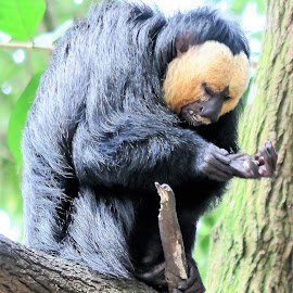 White-faced Saki Monkey by Dennis Ng - Animals Other Mammals