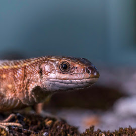 Good lookin' lizard! by Kjersti Skistad - Animals Reptiles ( lizard, nature, colors, reptile, portrait, animal )