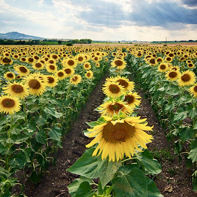 Sunflower Soldiers by Jiri Cetkovsky - Flowers Flowers in the Wild ( field, moravia, sunflower, yellow, sun )