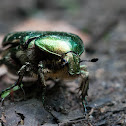 Goldsmith Beetle or rose-chafer