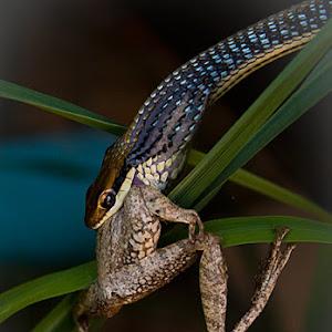 125190668.r2dFspAL.snakefrog2.jpg