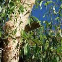 Collared Sparrowhawk (nest)