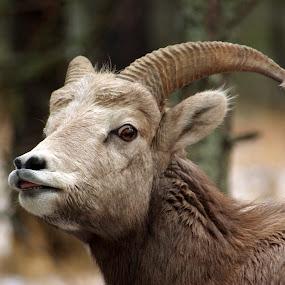 Young guns by Giselle Pierce - Animals Other Mammals ( smell, horns, winter, breeding, bighorn sheep, snow, rut, sheep, bighorn, mating, lip curl )