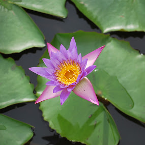 natures best by Erin Meisner - Novices Only Flowers & Plants ( water plant, lily, purple, green, garden, purple flower )