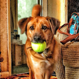Chloe and ball by Peter Barrett - Animals - Dogs Playing ( dog play ball house home hdr pet,  )