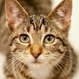Tabby kitten by Amanda  Castleman  - Animals - Cats Kittens ( kitten, cat, pet, animal )