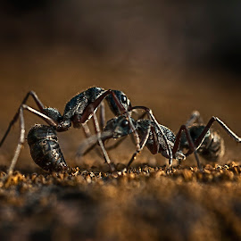 by Charles Mawa - Animals Other ( chocolate, macro, macrophotography, creative, macro photography, fight, moment, novices only, ant )