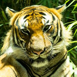 by D.l. Randolph - Animals Lions, Tigers & Big Cats