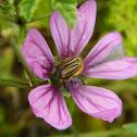Eulasia flower beetle