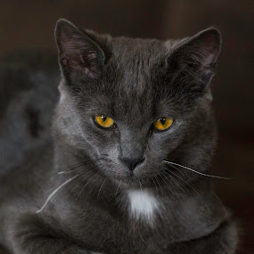 Our cat by Benny Høynes - Animals Other ( cat, black, eyes, norway, profile,  )