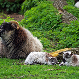 Here's to Ewe by Ingrid Anderson-Riley - Animals Other Mammals (  )