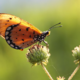 BUTTERFLY by Agustinus Tri Mulyadi - Animals Insects & Spiders ( butterfly, animal )
