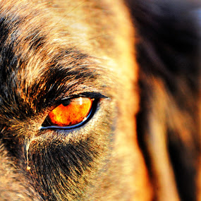 Eye C U by Kristen O'Brian - Animals - Dogs Portraits ( wolfhound, catahoula, brindle, puppy, dog )