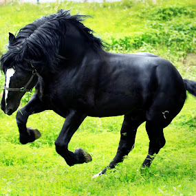 Stallion by Cristobal Garciaferro Rubio - Animals Horses ( grass, jumping horse, horse, horse in movement, black horse )