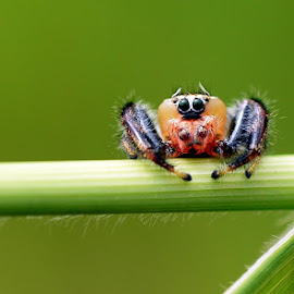 maramang  by Just Arief - Animals Insects & Spiders ( macro, spider, insect, natural, photography, animal, jumper )