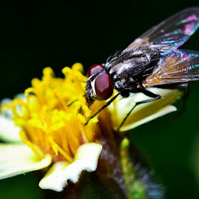 Fly and flower by Juang Rahmadillah - Novices Only Macro ( macro, fly, indonesia, nikon )
