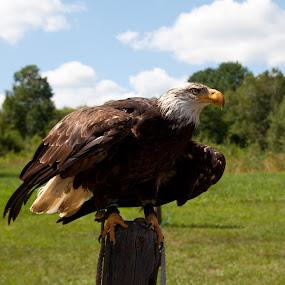 Aigles sur son départ by Thierry Madère - Novices Only Wildlife ( oiseau, eagle, aigle, birds, oiseau de proie,  )