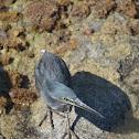 Lava heron (Garza de lava)