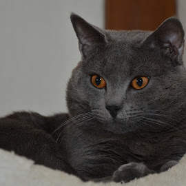 Hugo à Argent by Serge Ostrogradsky - Animals - Cats Portraits