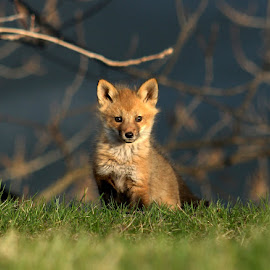 Red fox pup by Sue Connor - Animals Other Mammals ( fox, fox kit, fox pup, pup, fox cub, red fox )