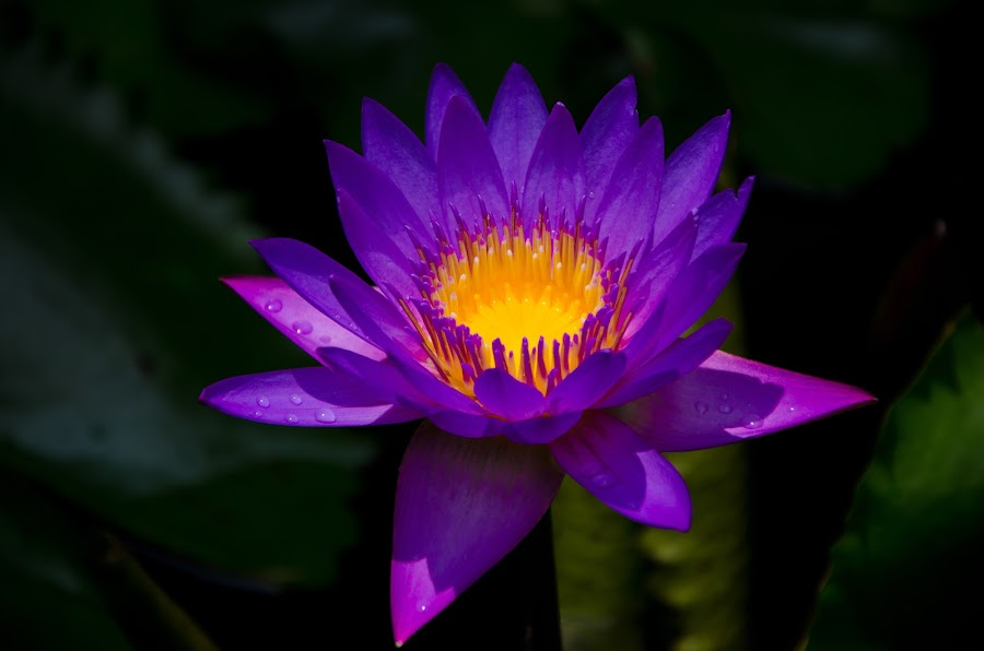 Lotus Flower by Yi Xuan Lee - Nature Up Close Flowers - 2011-2013 ( lotus, purple, bloom, yellow, flower )