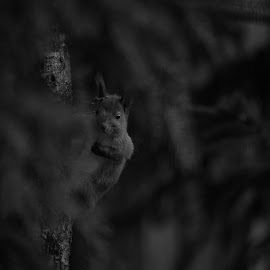 Hi there by Marcus Schanberg - Animals Other ( sweden, squirell, borlänge, cuteone, squirrels, hi, cute, littleanimal, animal )