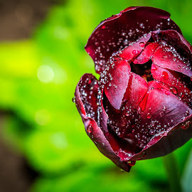 Rose in the rain by Valics Lehel - Nature Up Close Gardens & Produce ( rose, red, green, garden, rain )
