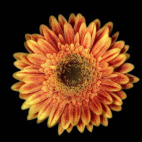 Gold flower by Gérard CHATENET - Flowers Single Flower