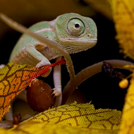 baby chameleon by Jason Garton - Animals Reptiles ( chameleon, reptile, lizards )
