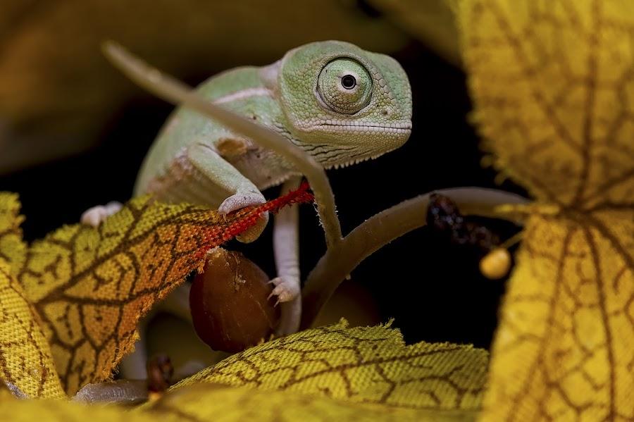 baby chameleon by Jason Garton - Animals Reptiles ( chameleon, reptile, lizards )