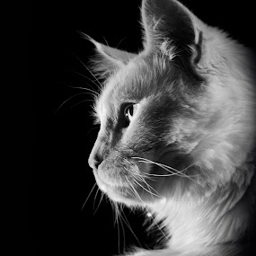 by Gospon Fulir - Animals - Cats Portraits
