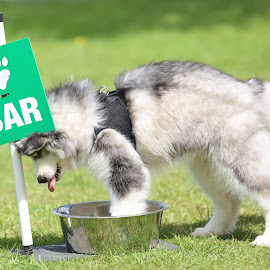 To young to hit the bar! by Gareth Evans - Animals - Dogs Puppies ( funny, husky, puppy, dog, dog show )