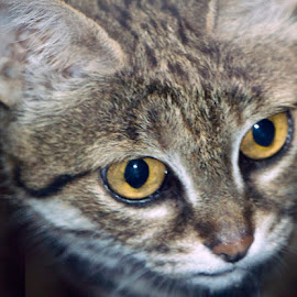 African black footed cat by Andy Antipin - Animals - Cats Portraits ( animals, cat, zoo, exotic cat, portrait,  )
