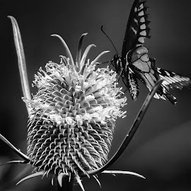 The Thistle and The Butterfly by Craig Turner - Nature Up Close Other plants ( butterfly, mare island, nature, black and white, close up )