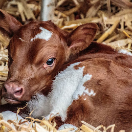 Hard work being adorable.  by Diane Ebert - Animals Other Mammals ( #candidsaremypassion, #babycalf, #anguslonghornmix )