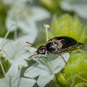 Black Pintail Beetle