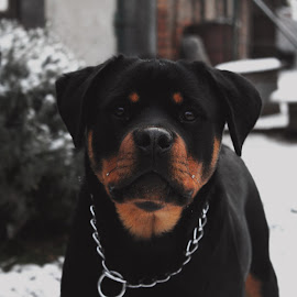 by Nikola Prvulovic - Animals - Dogs Portraits ( animals, dogs, rottie, rotti, pixoto, dog portrait, dog portraits, portraits, dog, rott portrait, portrait, animal, rottweiler )