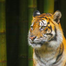 Tiger by Carolyn Lawson - Animals Lions, Tigers & Big Cats