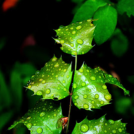 Wet Leaves by Devon Andriola - Nature Up Close Trees & Bushes ( idaho, water drops, leaves, photography, rain )