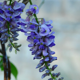 Texas Wisteria by Cathy Hood - Flowers Single Flower