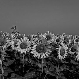 by Mohsin Raza - Black & White Flowers & Plants