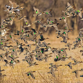 Green-Wing Teal Ducks by Jay Stout - Animals Birds